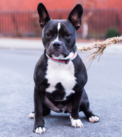 What mix of dog breeds created the pit bull - french pitbull