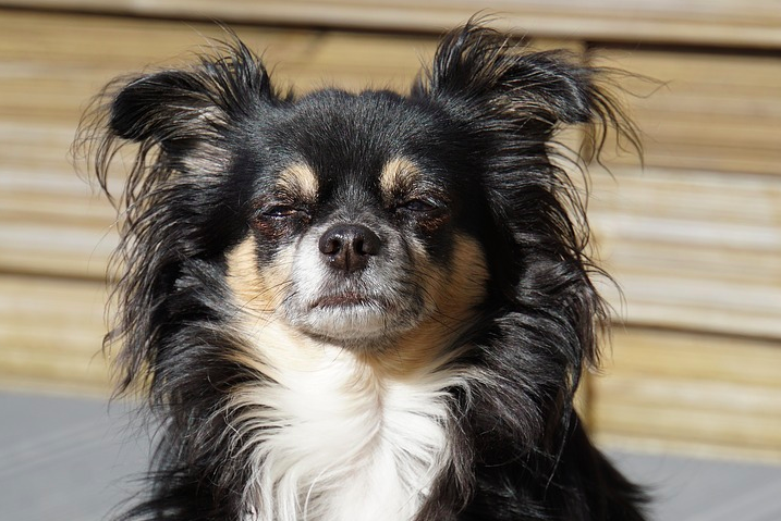 LONG HAIR CHIHUAHUA PUPPIES: ALL YOU SHOULD KNOW