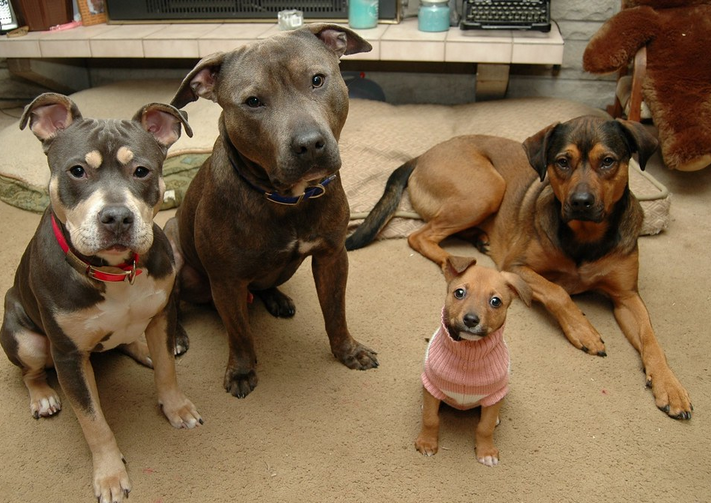 Can a Pitbull Live With Another Dog? Everything you need to know