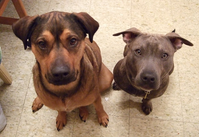 Can a Pitbull Live With Another Dog? – Why are pit bulls so aggressive?