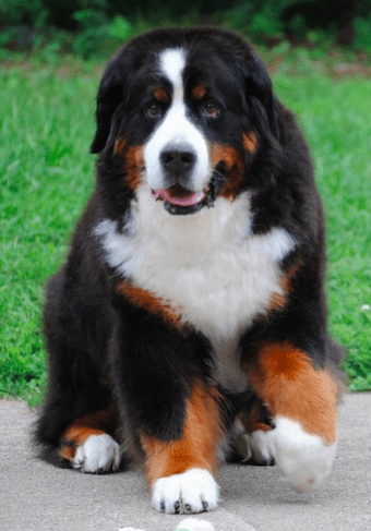 ernese Mountain Dog Puppies