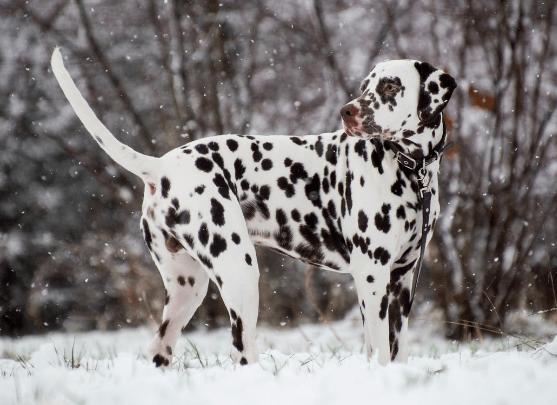 Cutest Dogs - Dalmatian