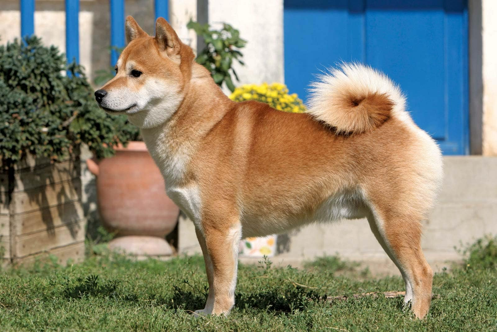 What Is The Cutest Thing You've Ever Seen a Dog do - Shiba Inu