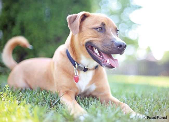 What mix of dog breeds created the pit bull -