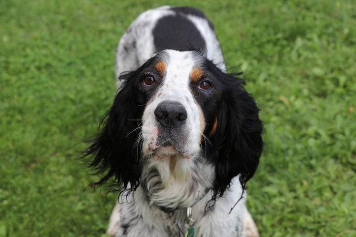 the english setter dog