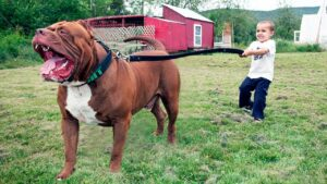 How Strong Is A Pitbull? What Dogs Can Beat A Pitbull? 10 Facts