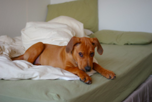 How to prevent my dog from peeing on my bed – 5 Things to Know