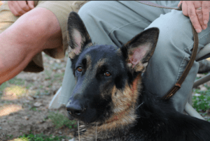 Why My German Shepherd Drooling – 1O Things You Need to Know