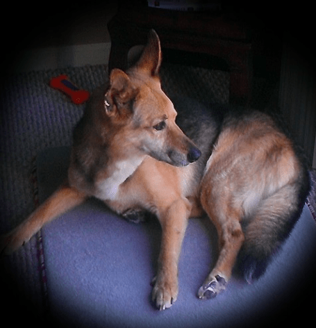 Why do german shepherds cry at night - 7 Things to Know (Explained)