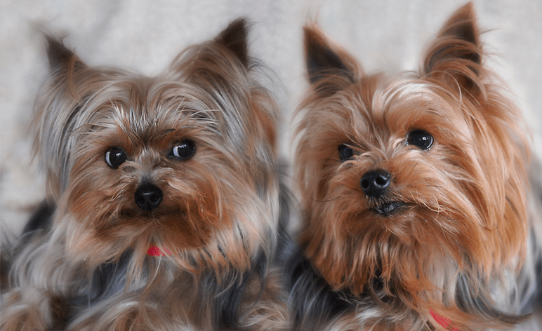 How long do Yorkshire Terriers Usually Live? - 10 Things to Know