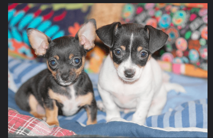 How much do teacup dogs cost? Top 8Teacup Dog Breeds