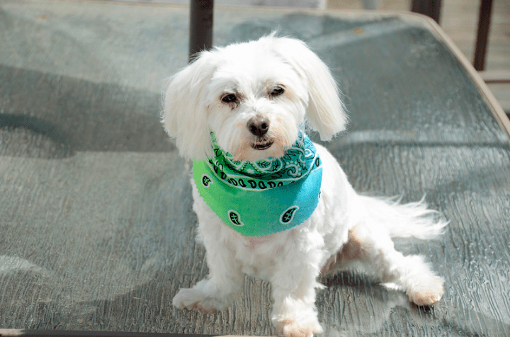 How Much Does A Maltese Dog Cost? Everything you need to know