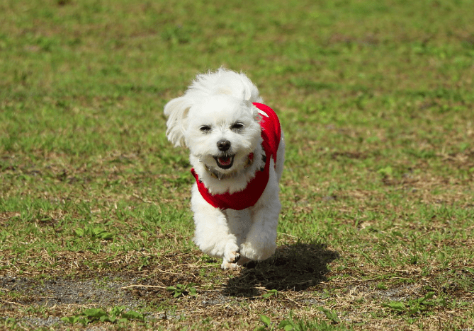 how much does a maltese dog cost