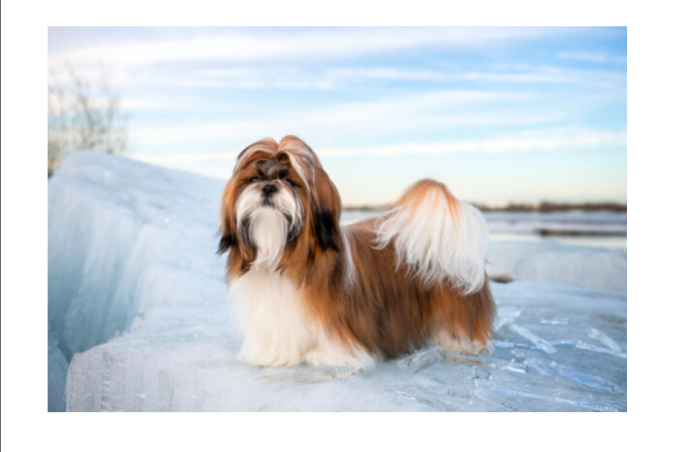 Top 7 Interesting Facts to Know About Shih Tzu