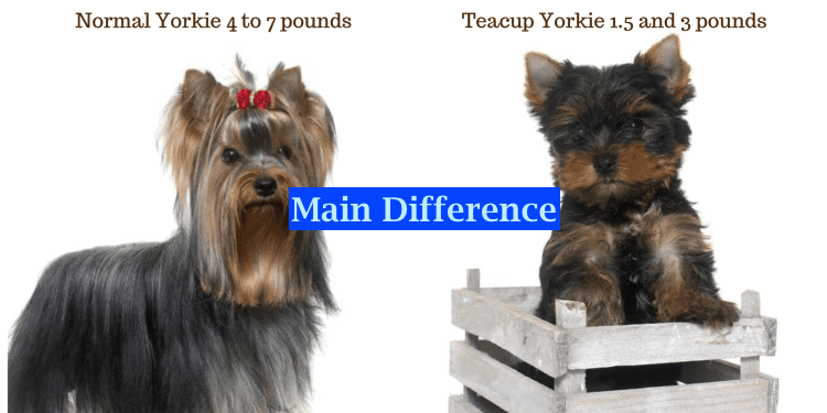 Yorkshire Terriers difference