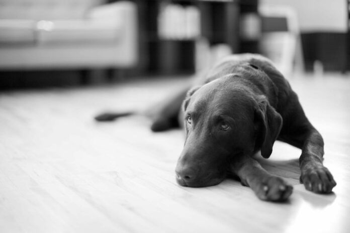 How CBD Oil for Dogs Can Ease Separation Anxiety
