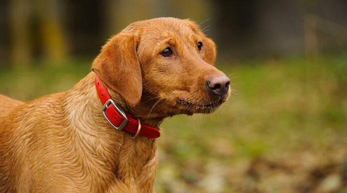 What color Labrador is most popular? 7 Fox Red Labrador Retrievers