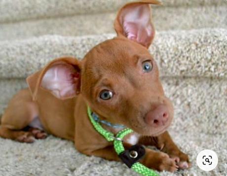 Pitbull Chihuahua mix Puppy cost