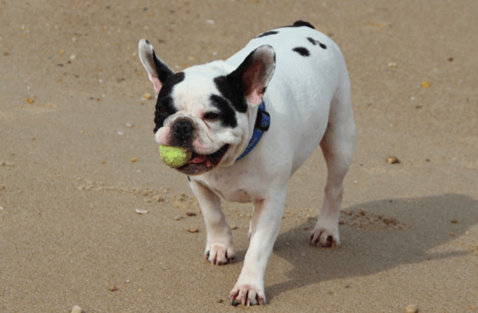 French Bulldog Puppy: Everything You Need to Know